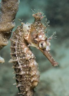 High-Crown Seahorse - holy crap it looks like a freaking gold brooch