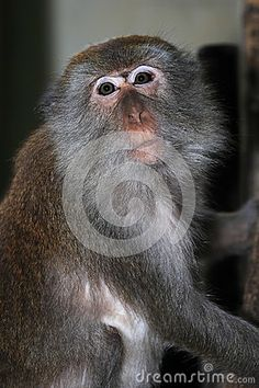 Monkey Macaque, Railay, Krabi,  Thailand by Pavel Dospiva, via Dreamstime