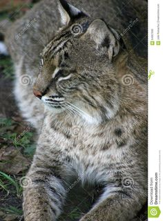 Photo about Bobcat resting front view with head turned closeup. Image of feline, predator, wildcat - 64967690 Predator, Art Reference, Profile, Stock Photos, Cats, Animals, Image, User Profile, Gatos