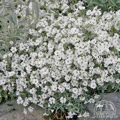 Cerastium tomentosum, zone 1-9, full sun, good groundcover, spreads moderately aggressively, easily divided, silver foliage.