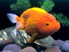 pictures of Chinese Goldfish - Google Search