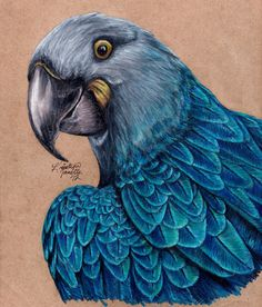 Glaucous Macaw by KristynJanelle on DeviantArt
