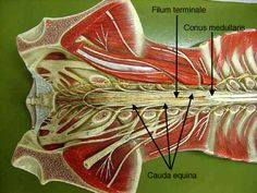 Know The Filum Terminale Is A Final Line Spinal Cord Anatomy Spinal Cord Anatomy Models Histologically, the filum terminale internum fuses with the fibers of the dural sac and continues as filum terminale externum. know the filum terminale is a final
