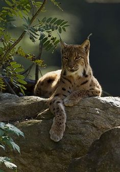 Eurasian Lynx (Lynx lynx) resting on a rock ledge. —so relaxed and elegant! These spotted wild cats range from Europe across to China—solitary, secretive animals that prefer dense forests full of hiding places and stalking opportunities. Small Wild Cats, Big Cats, Cool Cats, Cats And Kittens, Beautiful Cats, Animals Beautiful, Animals And Pets, Cute Animals, Photo Animaliere