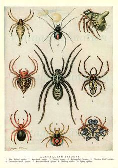 Spiders 1954 vintage print Australian spider illustration Nine colorful varieties