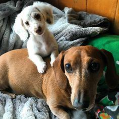 Daschund, Dachshund Puppies, Dogs And Puppies, I Love Dogs, Puppy Love, Cute Dogs, Miniature Dachshunds, Sausage Dogs, Weenie Dogs