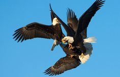eagles | Three hungry bald eagles lock talons in a vicious mid-air battle for a ...