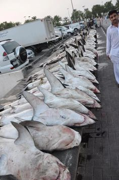 We Have To Stop This,  Every single day in Deira Fish Market, Dubai, UAE , like in dozens other fish markets in the Gulf hundreds of sharks are killed for their fins. This is just a daily catch, one of two each day. That day we counted 34 Thresher sharks (extremely engendered, close to extinction), 45 Bull sharks, 12 greater hammerheads, 11 scalloped hammerheads, 8 gray reefs, 5 tiger sharks, and 5 baby Great white!!!, dozens of oceanic white tips (longimanus), black tips and many more.