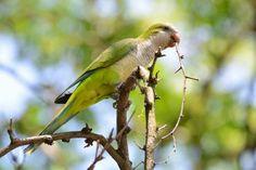 Brooklyn June 2014 Wild Parrot Safari:
