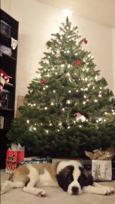 St bernard Her first Christmas