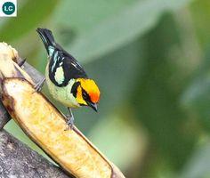 https://www.facebook.com/WonderBirdSpecies/ Flame-faced tanager (Tangara parzudakii); South America: Colombia, Ecuador, Peru, and Venezuela; IUCN Red List of Threatened Species 3.1 : Least Concern (LC)(Loài ít quan tâm) || Chim Tanager mặt lửa; Họ Tanager-Thraupidae (Tanager); Nam Mỹ: Colombia, Ecuador, Peru và Venezuela.