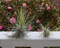 Tillandsia magnusiana | XL Air Plant | Unusual Air Plants | Airplant | Air Plant Gift | Airplant Gift | Tillandsia | Air Plants | Airplants