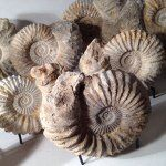 Some of the many #natural #artifacts that you'll be able to #purchase at #collectivehome.com   #polished #ammonites and #sanddollars #150millionyearsold  #onehundredandfiftymillionyearsold #unbelievable #amazing   #home #design #accessories #art #oneofakind #highend #interiors #interiordesign #residential #commercial #architecture #like #love #admire #designlife #beinspired #collectivehome.com