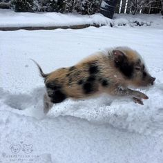 "From @clydethepig: ""SNOW DAY!! "" #cutepetclub by: @cutepetclub"