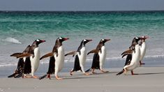 Gentoo Penguin, Penguins, Diving, Wildlife, Beach, Pictures, Photos, Scuba Diving, The Beach
