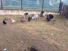Oua pentru incubat - serbanstefan