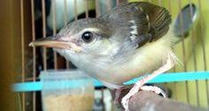 Image Result For Cara Mengatasi Burung Kenari Obesitas