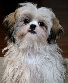 Adorable Shih Tzu