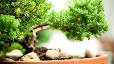 How to care for a bonsai tree: Learn the ins and outs of choosing, watering, fertilizing and repotting a bonsai tree.