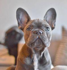 Frank the French Bulldog
