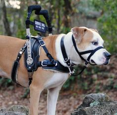 BLD Mobility Support Harness  with banner badge on service dog MIKE about $550