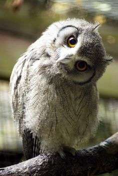 Northern white-faced owl (Ptilopsis leucotis)