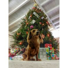 Guard Dog on Duty! Christmas Dachshund, Guard Dog, Dachshunds, Dog Cat, Puppies, Park, My Love, Dogs, Cute