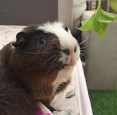 Have you ever stopped to appreciate a guinea pig's smile? | 21 Small Animals That Deserve More Internet Love