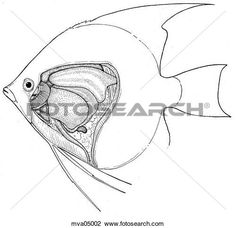 Clip Art of Anatomy, angelfish mva05002 - Search Clipart, Illustration Posters, Drawings, and EPS Vector Graphics Images - mva05002.jpg