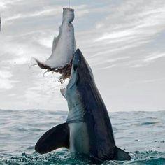 Shark Pictures, Shark Photos, Deep Blue Shark, All Sharks, Sea Shark, Species Of Sharks, Shark Bait, Shark Tattoos, Deep Sea Creatures