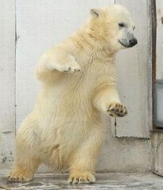 who says white bears can't dance