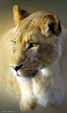 Lioness by photoflacky on DeviantArt. She looks like thinking deeply or meditating of something. Nature Animals, Animals And Pets, Cute Animals, Wild Animals, Baby Animals, Beautiful Cats, Animals Beautiful, Big Cats, Cats And Kittens