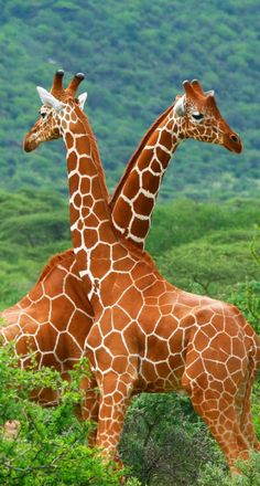 Giraffe You protect the front and I'll get your back!!