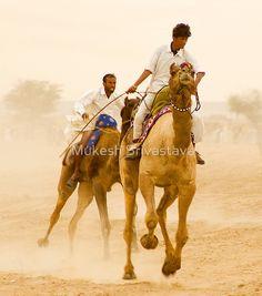 Camels of Rajasthan