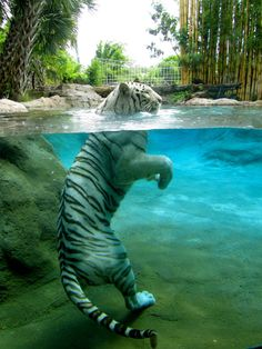 .Tiger playing in the water!.