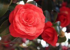 Camillia flower tattoo - Google Search