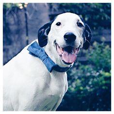Snoopy má na sobě obojek a motýlek z kolekce Bradbury Corduroy Blue