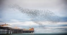 'Murmurations over Brighton Pier' by Peter Stevens. Through the autumn and winter months, hundreds of thousands of starlings come together in huge clouds around the UK. Here they are captured swooping in unison above Brighton Pier in East Sussex. British Travel, Travel Uk, Uk Landscapes, Visit Britain, Photo Awards, 10 Picture, East Sussex, Landscape Photographers, Family Travel
