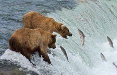 Katmai National Park, National Parks, Carl Johnson, Bristol Bay, Salmon Run, Sockeye Salmon, When They Cry, Brown Bear, Ecology