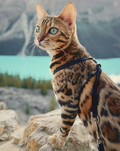 Bengal Cat Facts Adventures-suki-the-cat-canada - Suki is a gorgeous Bengal cat from Canada who isn't afraid of taking her tiny paws on big adventures. Not only that, Suki looks absolutely elegant with each step she takes and has the photos to prove it! Beautiful Cat Breeds, Beautiful Cats, Charcoal Bengal, Cute Cats, Funny Cats, Adorable Kittens, Grand Chat, Adventure Cat, F2 Savannah Cat