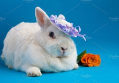 Rabbit in a hat Photos Big white rabbit in small lavender hat by TalyaPhoto