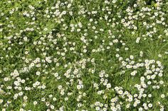 Chamomile Lawn Care – How To Grow Chamomile As Lawn Alternative