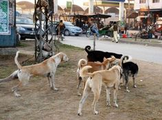"""STOP Mass Dog Killings in Quetta - There are millions of stray dogs roaming the streets of the world. While many enjoy freedom and the care of humans, others struggle to survive and are often the target of extreme cruelty. Such is the case with the murderous """"culls"""" happening currently in Quetta, a city in Pakistan. ...."""