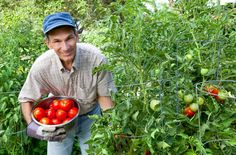 Tips For Growing Tomatoes, Growing Vegetables, Growing Plants, Grow Tomatoes, Cherry Tomatoes, Pruning Tomato Plants, Tomato Growers, Watering Tomatoes, Determinate Tomatoes