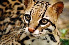 Reaparece un ocelote, el felino que se creía extinto hace diez años en Argentina