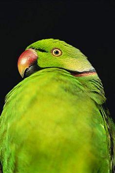 World's rarest parrakeet (Psittacula eques echo), Shoals of Capricorn, Mauritius Wildlife Foundation, Mauritius, Africa