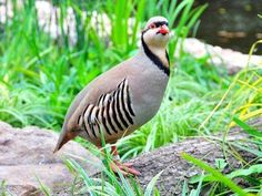 b06e1e7bcb58c The chukar partridge or chukar (Alectoris chukar) is a Eurasian upland  gamebird in the pheasant family Phasianidae. It has been considered .