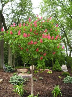 Horsechestnut 'Ft. McNair'    Great spring blooming tree