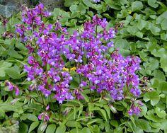 lathyrus vernus - vivace basse (30cm) floraison avril. Revient fidèlement chaque année sans rien faire. Se ressème un peu mais gentiment.