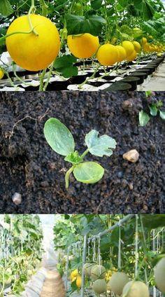 Cantaloupe On A Trellis: How To Grow Cantaloupes Vertically #Cantaloupe #Trellis #Grow #Cantaloupes #Vertically #Fruit #Plants #Melons #Gradening